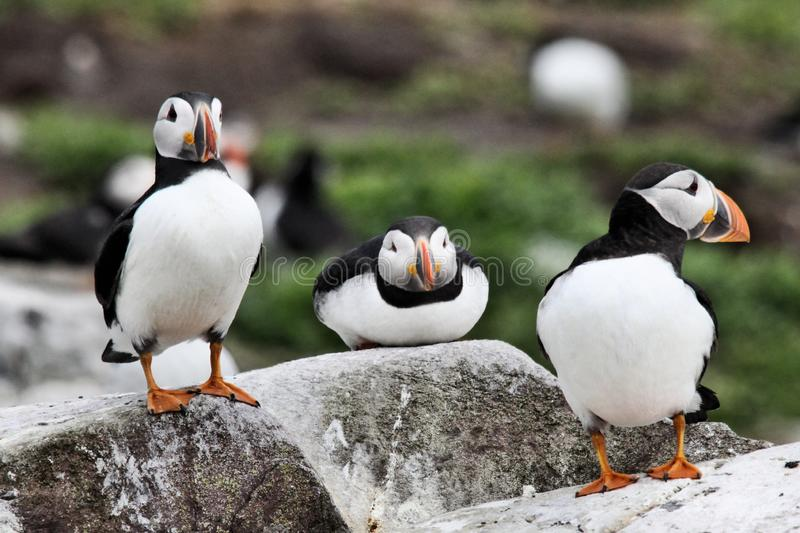 A view of a Puffin. On Farne Islands Nature Reserve in Northumberland royalty free stock photos
