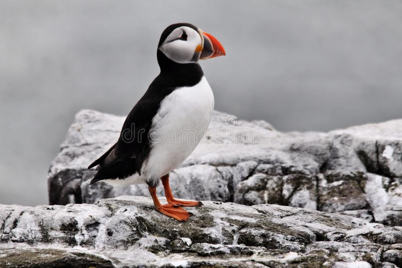 A view of a Puffin on Farne Islands. Standing on the ground royalty free stock photography
