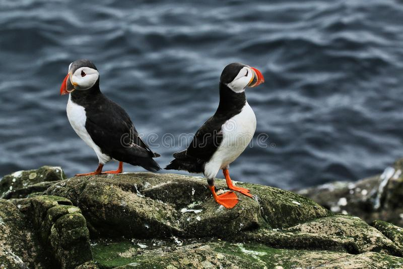 A view of a Puffin on Farne Islands. Standing on the ground stock image