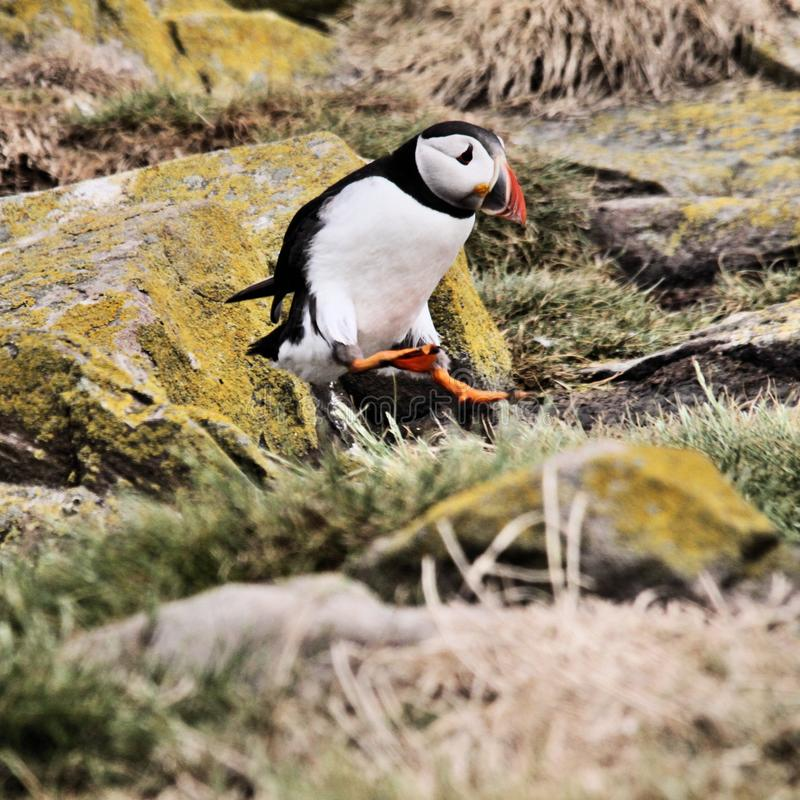 A view of a Puffin on Farne Islands. Standing on the ground stock photography