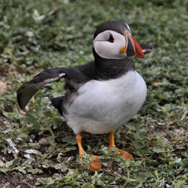 A view of a Puffin on Farne Islands. Standing on the ground stock photos