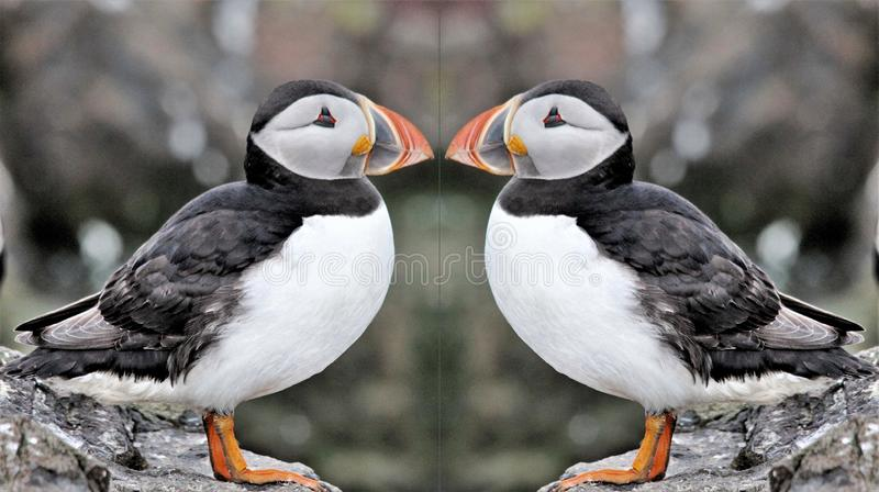 A view of a Puffin on Farne Islands. Standing on the ground royalty free stock images
