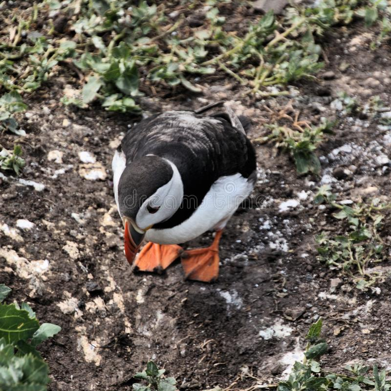 A view of a Puffin on Farne Islands. Standing on the ground royalty free stock image