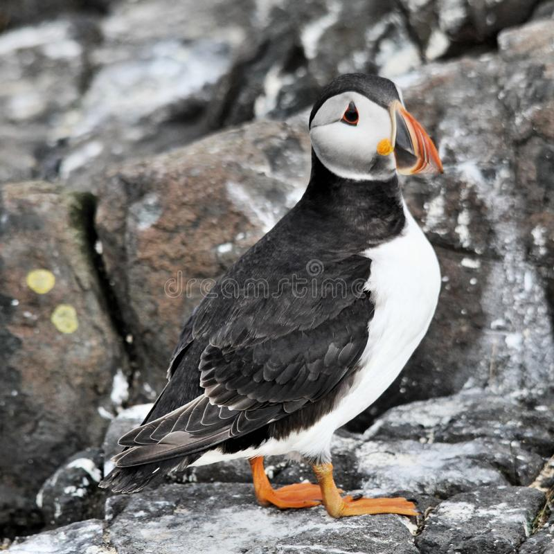 A view of a Puffin on Farne Islands. Standing on the ground stock images
