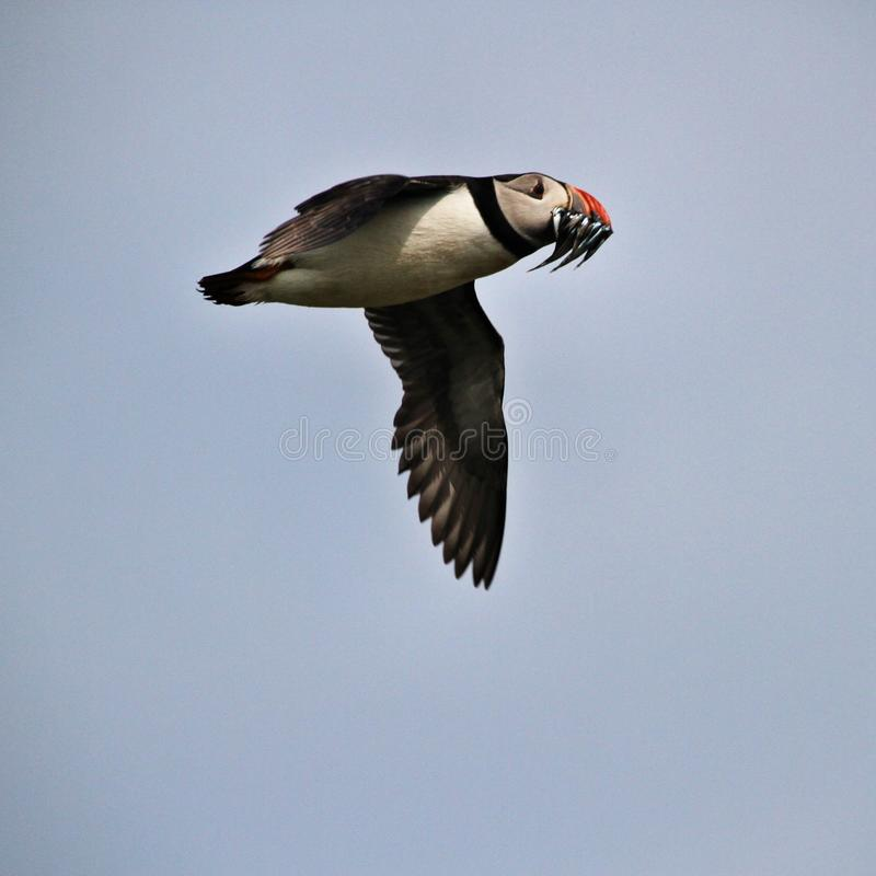 A view of a Puffin in flight with Sand Eels royalty free stock photography