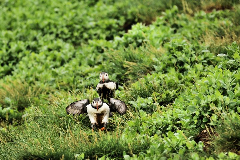 A view of a Puffin. On Farne Islands Nature Reserve in Northumberland royalty free stock photo