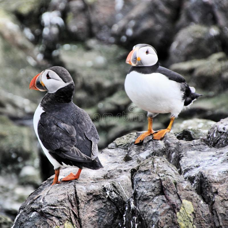 A view of a Puffin. On Farne Islands Nature Reserve in Northumberland stock photo