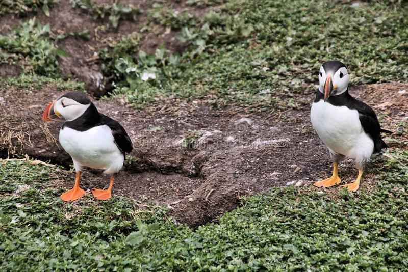 A view of a Puffin. On Farne Islands Nature Reserve in Northumberland stock image