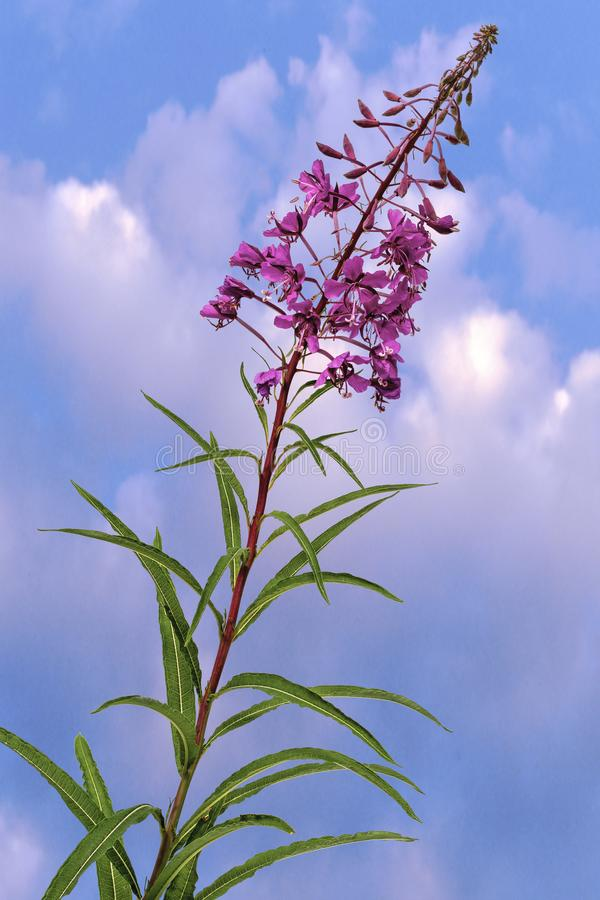 Glorious Purple Weed. View of Purple coloured plant self seeded and grows like weed on a cloudy sky background royalty free stock photography