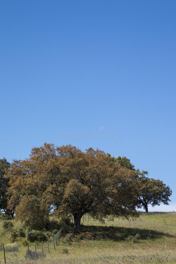 Quercus ilex tree. View of quercus ilex tree landscape in Alentejo royalty free stock image
