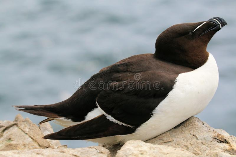 A view of a Razorbill. On Farne Islands Nature Reserve royalty free stock photography