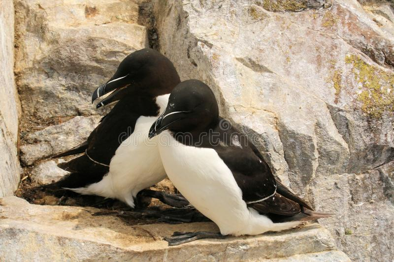 A view of a Razorbill. On Farne Islands Nature Reserve royalty free stock photos
