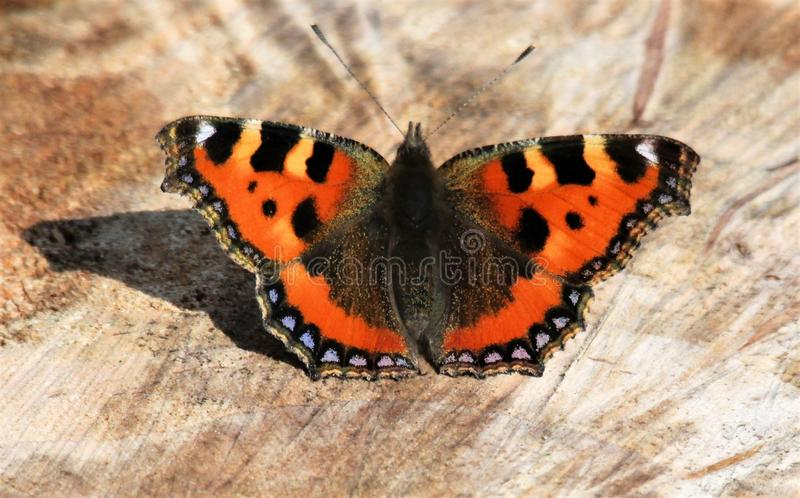 A view of a Red Admiral Butterfly stock images