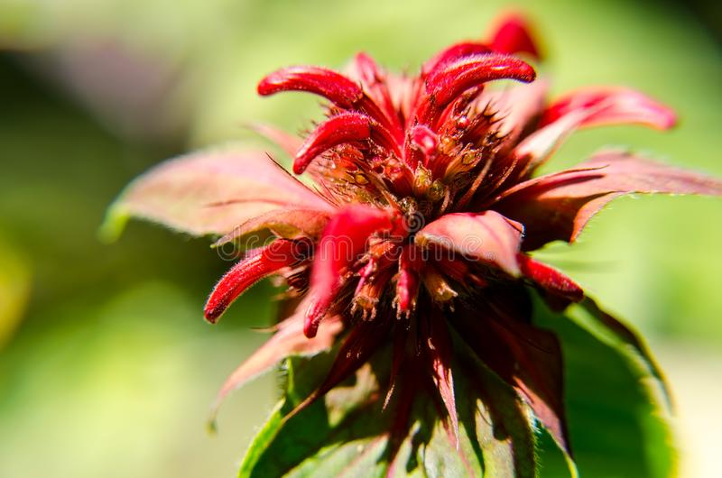 View of red flower up close in a colorful garden. Red nis the primary color in this image royalty free stock image
