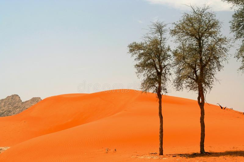 View on red orange sand dune with isolated group of trees in arid dry environment stock image