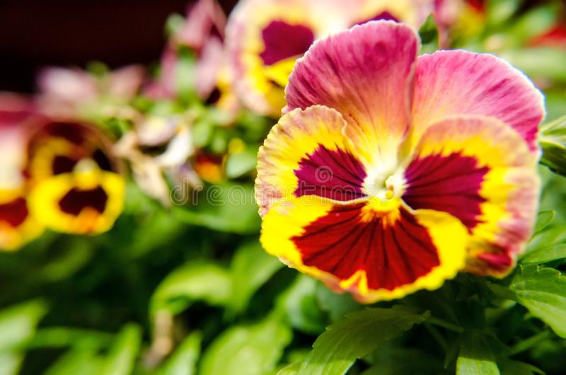 View of red and yellow flower up close. Green leaves surround the flower royalty free stock image