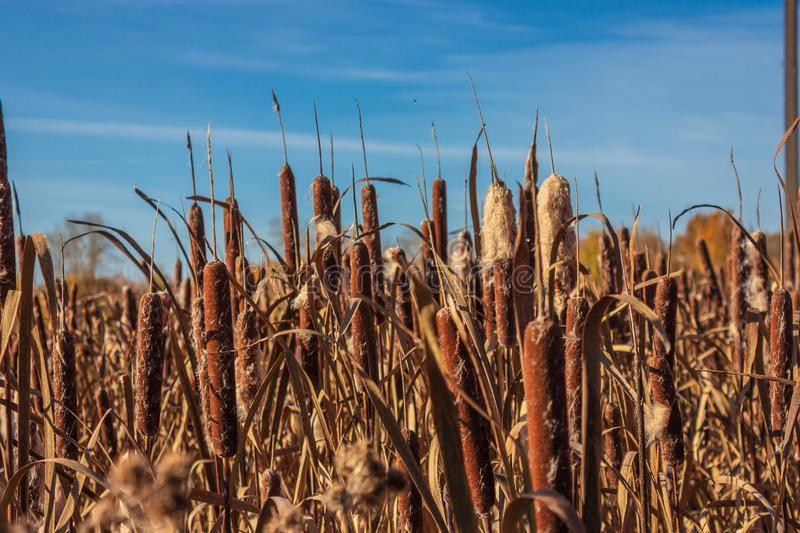 Reeds and cattail royalty free stock images