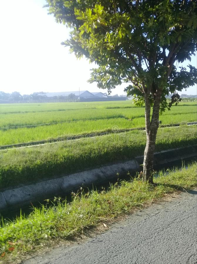 View the rice fields royalty free stock photos