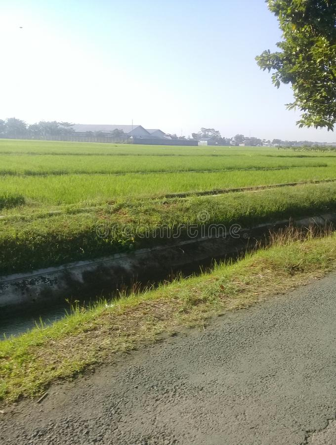 View the rice fields stock image