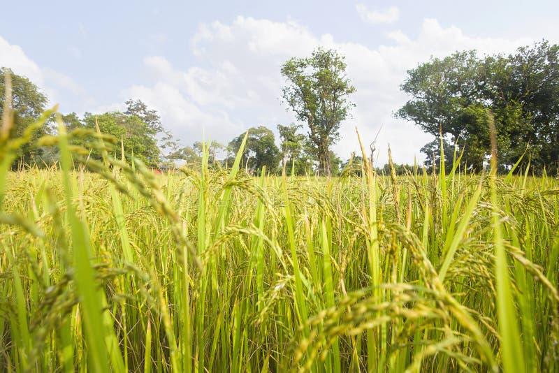 View of rice paddy field, Maharashtra, India stock images