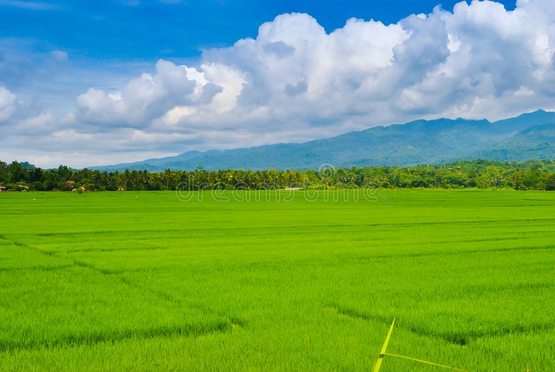 View of rice terrace field in tropical island in East Asia. Lush green rice terrace field in Ubud, Bali, Indonesia with palm trees and swinging ropes during royalty free stock images