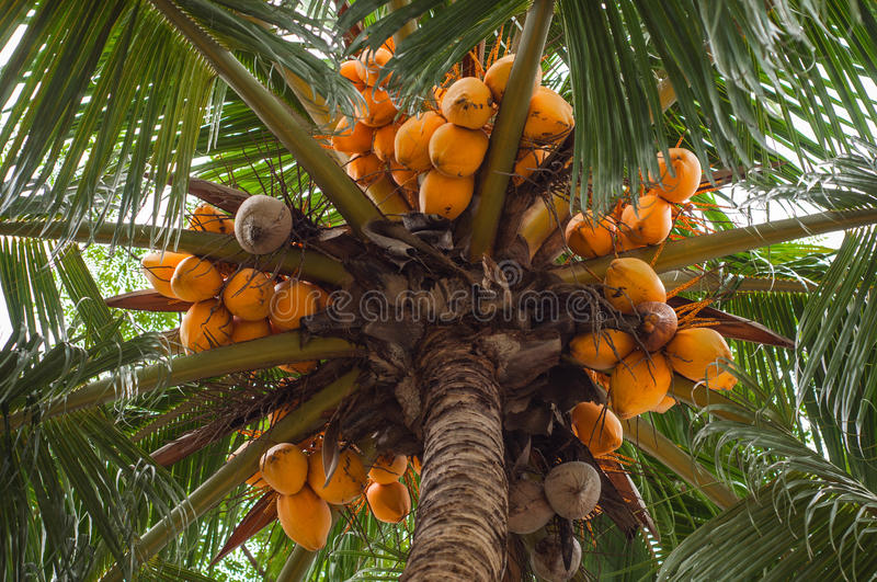 View of Ripe Yellow Coconut tree from the bottom. In a beach stock images