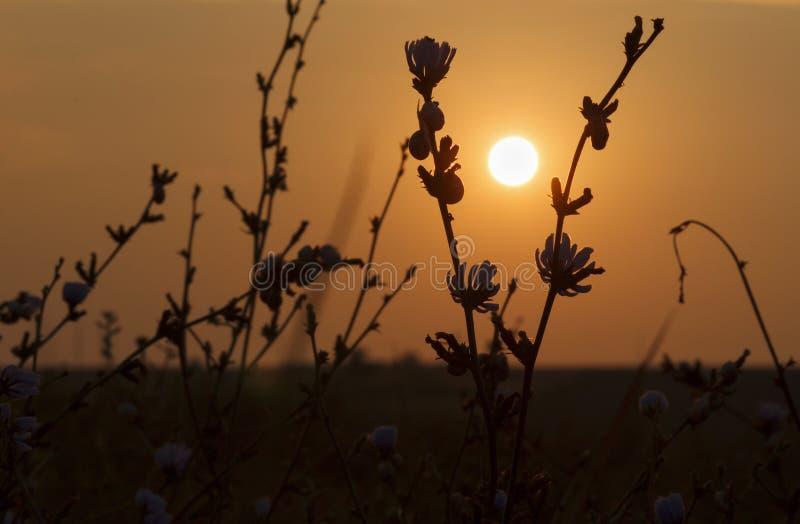 View on rising sun. Through wild flowers royalty free stock image