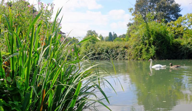 View from a river bank mother and baby swan swimming past grassy river bank stock photo