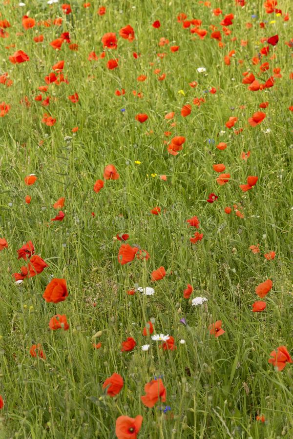 View on a roadside covered with numerous wild wonderful flowers, named red poppies. Beautiful fragile red flowers. There was an abuncance of these wild flowers stock image