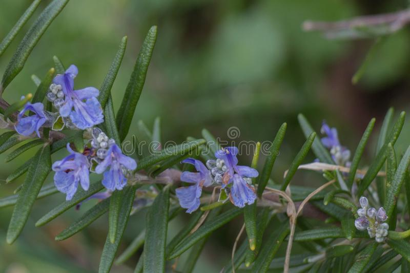 The view of rosemary flowering branches in bloom stock image