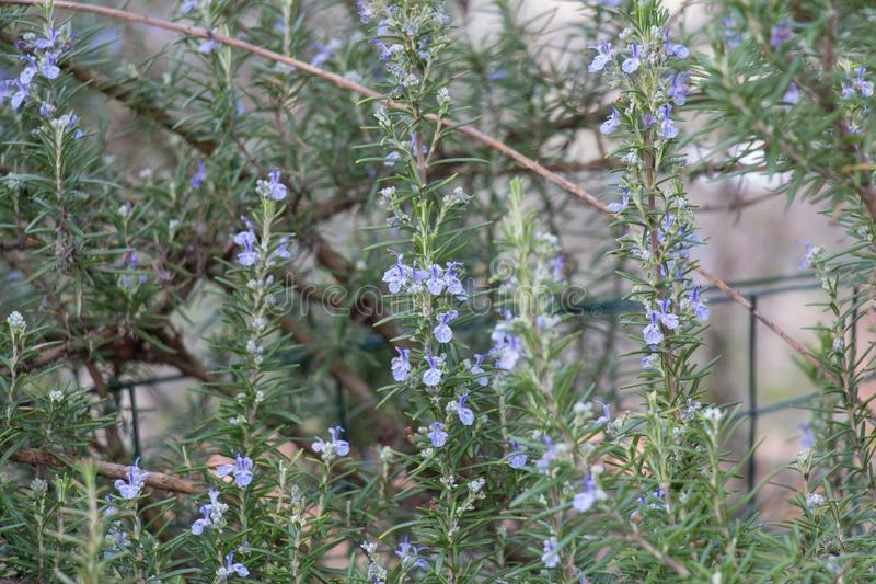 The view of rosemary flowering branches in bloom stock photo