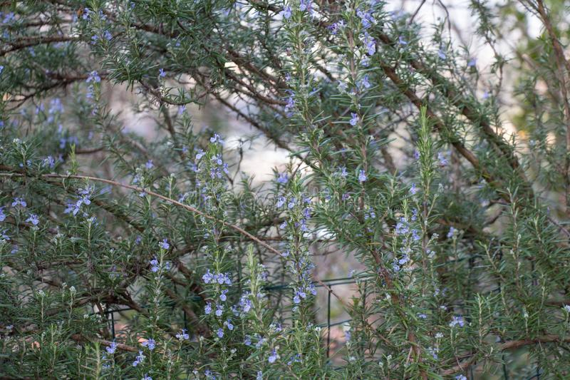The view of rosemary flowering branches in bloom stock images