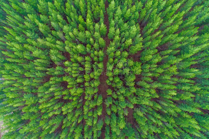 View of rows of pine tree tops. Top down aerial view of rows of pine tree tops stock photo