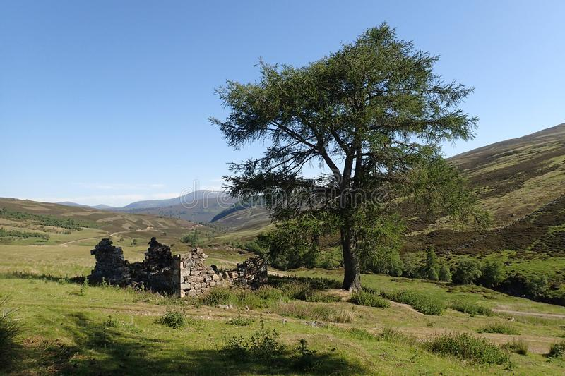 View of Scots pine next to ruined old croft in the Cairngorm Mountains Scotland. View of the ruined stone walls of the old croft at Auchelie, Glen Ey, in the royalty free stock photography