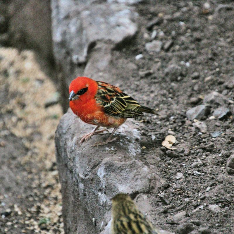 A view of a Scarlet Finch. Bird in the wild royalty free stock photos
