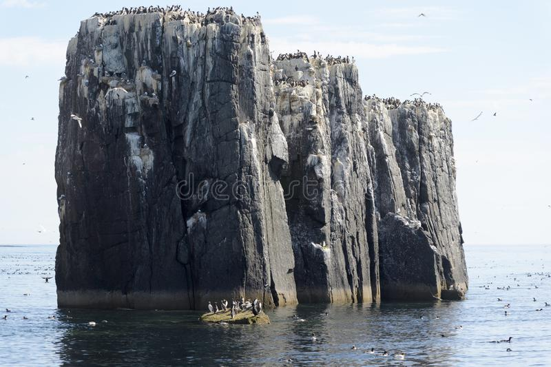 View of sea cliffs with seabirds nesting. The Pinnacles, Staple Island, Outer Farnes, Farne Islands, Northumberland, UK stock photo