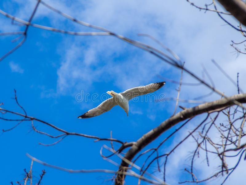 View of a seagull flying through tree branches. View of a seagull flying through tree branches with blue sky background royalty free stock images