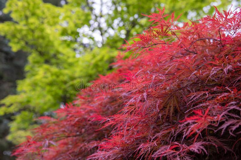 View on a side of deep red Inaba shidare weeping Japanese maple tree stock photography