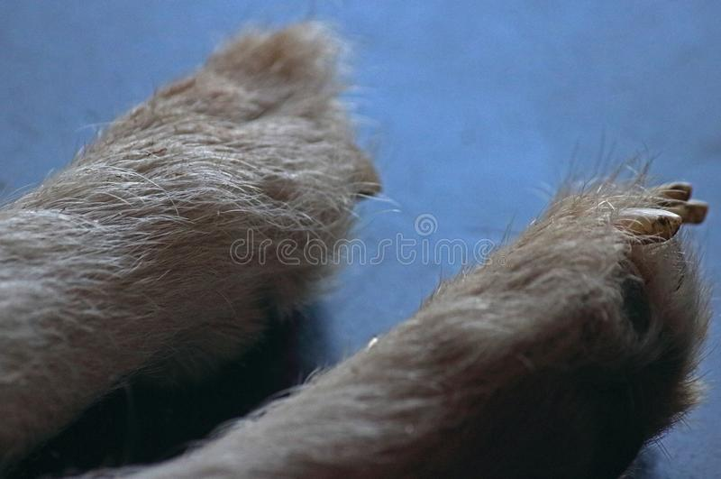 CLOSE VIEW OF HAIR AND NAILS ON A DOG`S PAWS royalty free stock photos