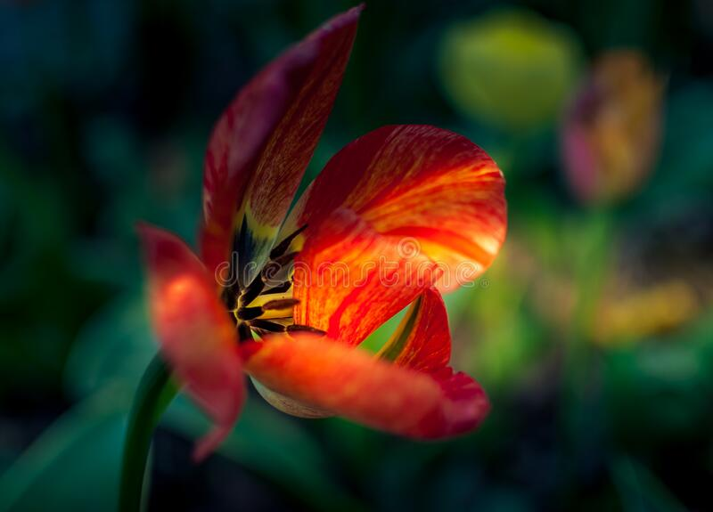 View from the side of red yellow beautiful tulip with touch of sunlight. stock photography