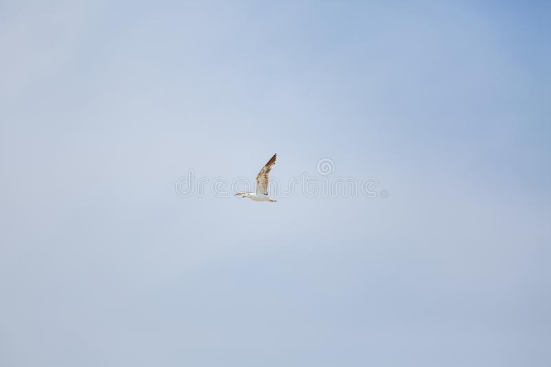 View of single seagull flying on blue sky stock images