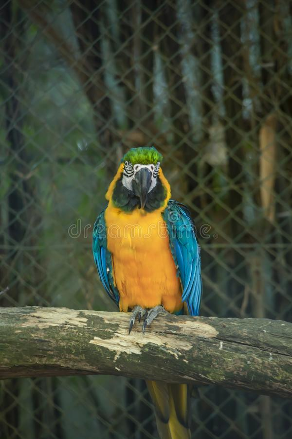 Yellow and blue ara macaw on perch. View of a single yellow and blue ara macaw on perch, fantastic colors, in Portugal stock photography