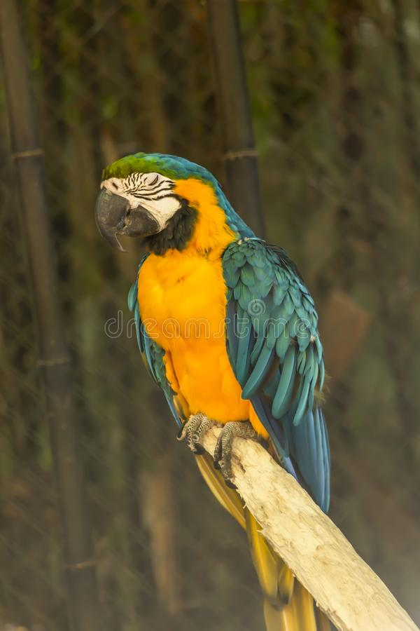 Yellow and blue ara macaw on perch. View of a single yellow and blue ara macaw on perch, fantastic colors, in Portugal royalty free stock images