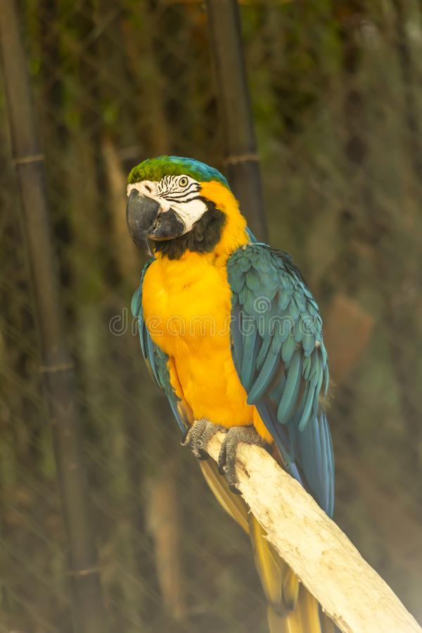 Yellow and blue ara macaw on perch. View of a single yellow and blue ara macaw on perch, fantastic colors, in Portugal royalty free stock photos