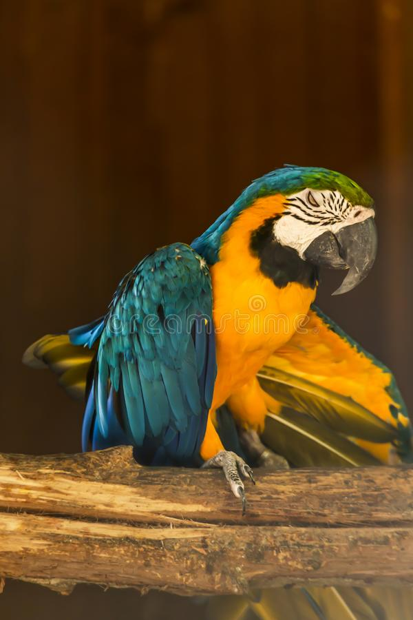 Yellow and blue ara macaw on perch. View of a single yellow and blue ara macaw on perch, fantastic colors, in Portugal royalty free stock image