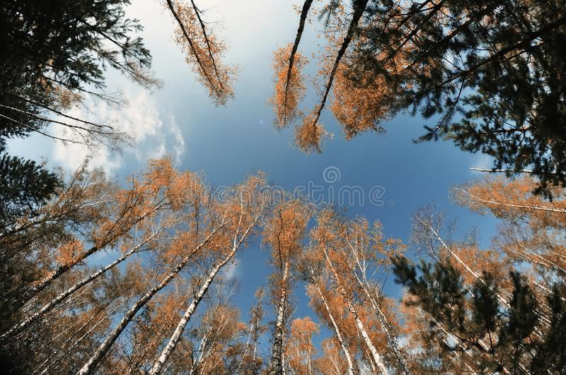 A view of the sky, tree trunks of birches with yellow bright foliage against the sky. Autumn time stock images