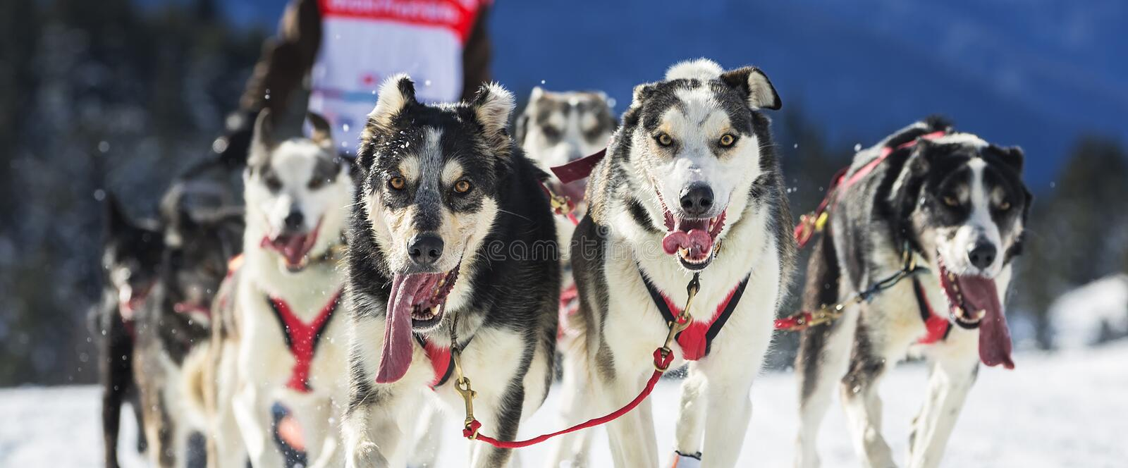 View of sled dog race on snow. In France royalty free stock photo