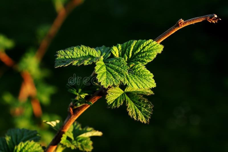 View on small leaves of raspberry bush in our garden. Black background. Golden hour. Rubus idaeus royalty free stock image