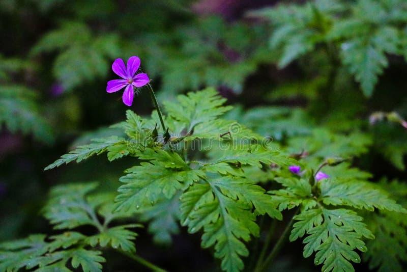 View of a small purple wild geranium flower hidden in green gras. Soft focus, lack of focus stock image