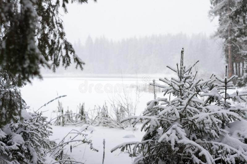 View of the snowed pond through spruce`s brunches stock photos